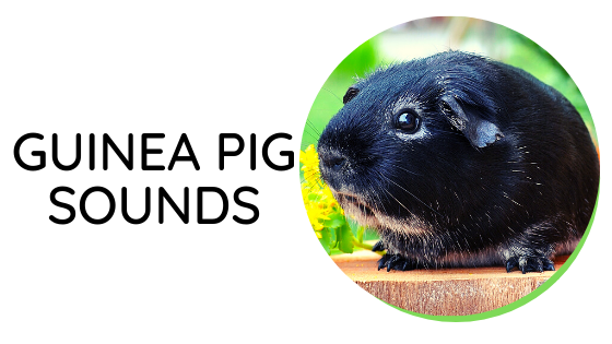 specific behavior of the guinea pig